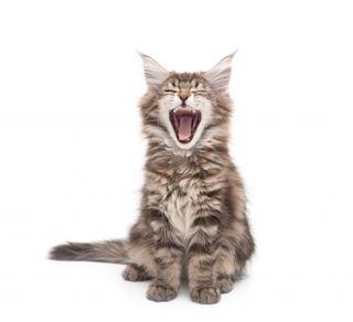 Vomiting cat